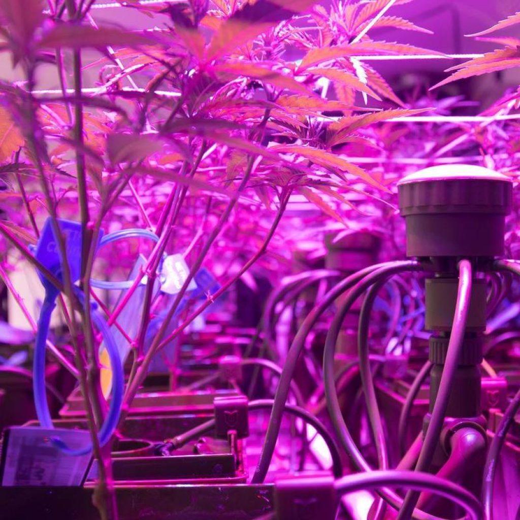 medical-cannabis-led-growth