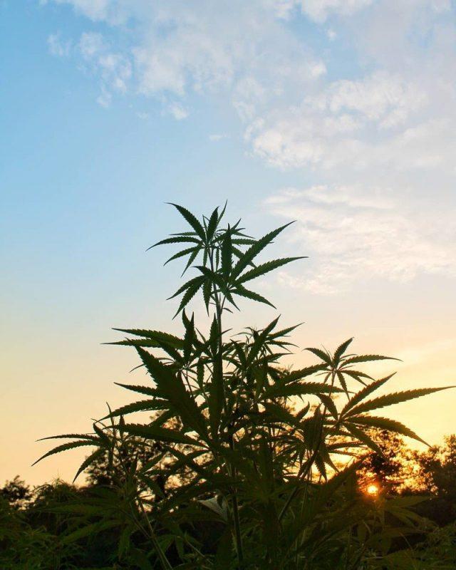 sative-growing-outdoor