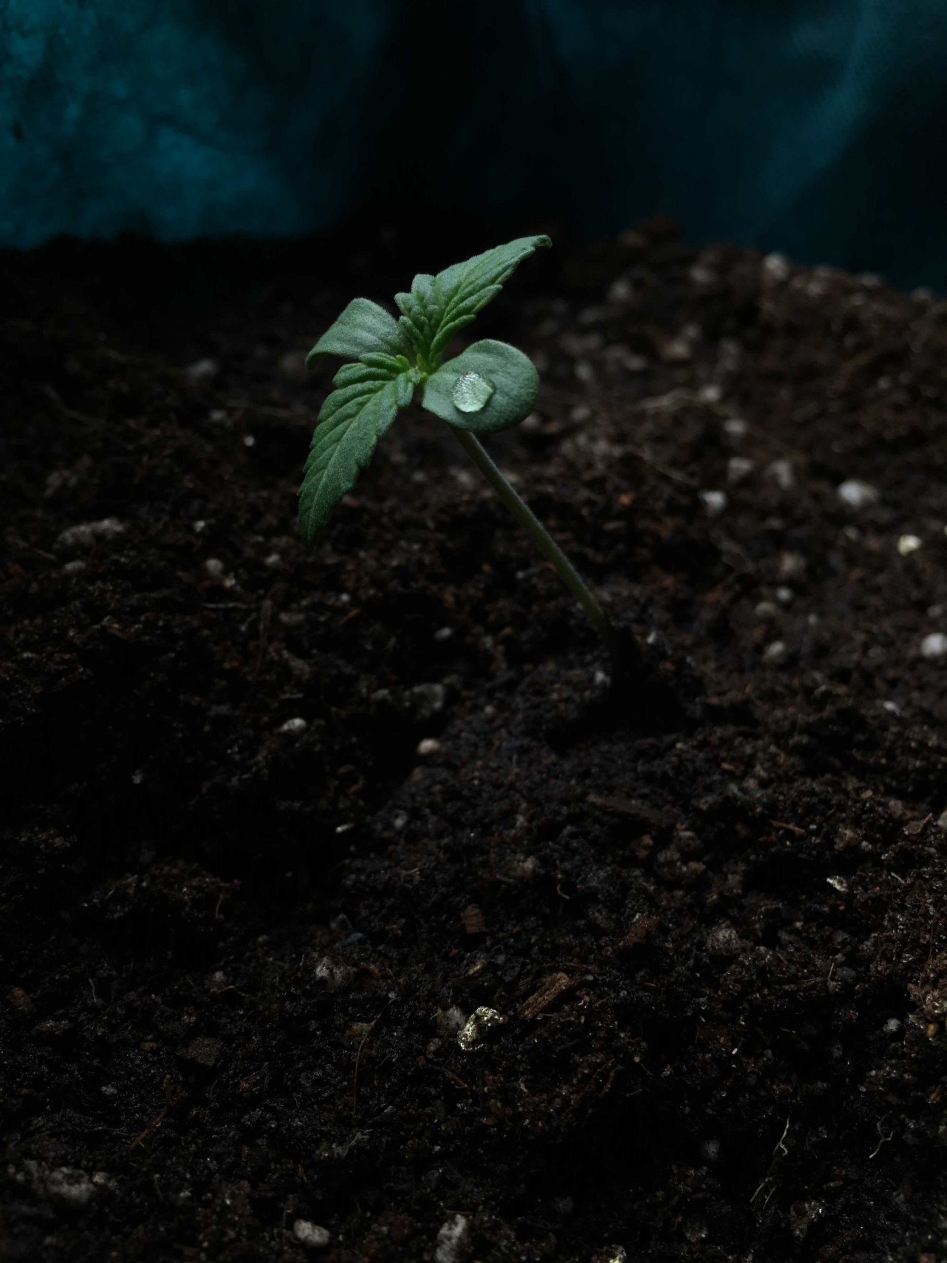 Cannabis_seedling