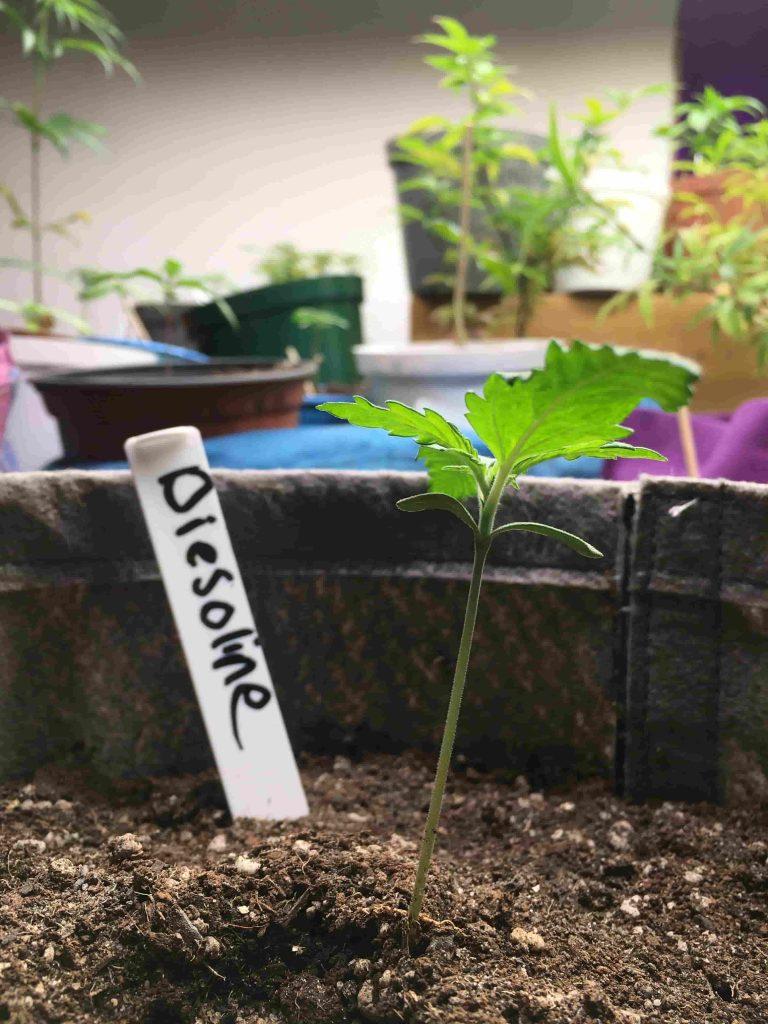 Daggafontein_genetics_seeds