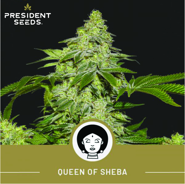 Queen of Sheba Auto Fem - Breeders Pack