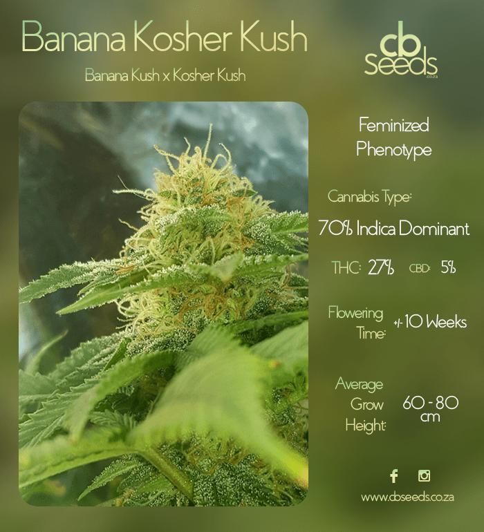 Banana Kosher Kush Seed